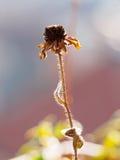 λουλούδι που μαραίνετα Στοκ φωτογραφία με δικαίωμα ελεύθερης χρήσης