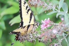 λουλούδι σίτισης πετα&lambda Στοκ Εικόνες