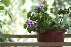 λουλούδι σε δοχείο Στοκ Εικόνες