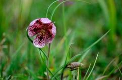 λουλούδι σπάνιο Στοκ Εικόνες
