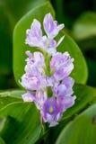 λουλούδι του υάκινθου νερού Στοκ Εικόνες