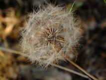 λουλούδι τυχερό Στοκ Εικόνες