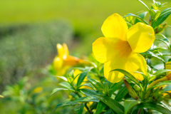 λουλούδι allamanda Στοκ Εικόνες