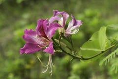 λουλούδι bauhinia Στοκ φωτογραφία με δικαίωμα ελεύθερης χρήσης