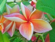 λουλούδι chumpa Στοκ Εικόνα