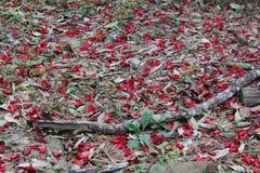 λουλούδι gulmohar Στοκ εικόνες με δικαίωμα ελεύθερης χρήσης