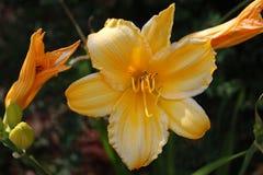 λουλούδι Iris Στοκ Εικόνες