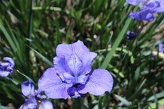 λουλούδι Iris Στοκ Φωτογραφίες