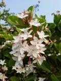 λουλούδι karonda Στοκ φωτογραφίες με δικαίωμα ελεύθερης χρήσης