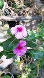 λουλούδι noyontara Στοκ εικόνες με δικαίωμα ελεύθερης χρήσης