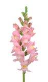 λουλούδι snapdragon Στοκ Εικόνες