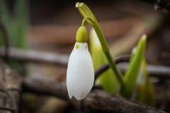 λουλούδι snowdrop στοκ εικόνες με δικαίωμα ελεύθερης χρήσης