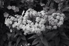 λουλούδι W β Στοκ φωτογραφίες με δικαίωμα ελεύθερης χρήσης