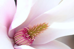 λουλούδι yulan Στοκ Φωτογραφία