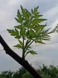 Οφθαλμοί δέντρων στοκ εικόνα
