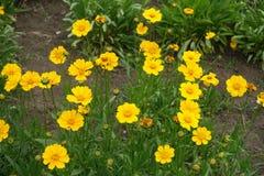 Οφθαλμοί και κεφάλια λουλουδιών του lanceolata Coreopsis στοκ φωτογραφία με δικαίωμα ελεύθερης χρήσης
