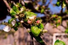 Οφθαλμοί και νέα φύλλα στην κινηματογράφηση σε πρώτο πλάνο κορμών δέντρων της Apple δέντρο λεπτομέρειας Στοκ φωτογραφία με δικαίωμα ελεύθερης χρήσης