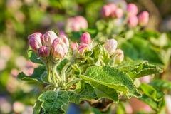 Οφθαλμοί λουλουδιών ενός Apple-δέντρου σε έναν κήπο άνοιξη, μακροεντολή Στοκ φωτογραφία με δικαίωμα ελεύθερης χρήσης
