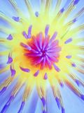 Οφθαλμοί λουλουδιών του όμορφου κρίνου νερού Στοκ εικόνα με δικαίωμα ελεύθερης χρήσης