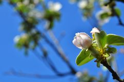 Οφθαλμοί της Apple του άνθους μήλων σε ένα δέντρο Στοκ Εικόνες