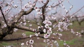 Οφθαλμοί του βερίκοκου, που βλασταίνουν στην κίνηση ανθίζοντας κήπος απόθεμα βίντεο