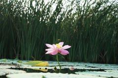 Οφθαλμός και πέταλο Lotus Στοκ φωτογραφία με δικαίωμα ελεύθερης χρήσης