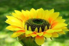 Οφθαλμός λουλουδιών του ηλίανθου στοκ εικόνες