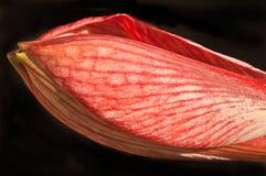 Οφθαλμός λουλουδιών Amaryllis Στοκ Εικόνα