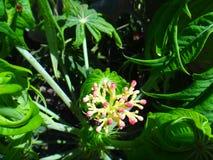 Οφθαλμός λουλουδιών Jatropha με το έντομο Στοκ Φωτογραφία
