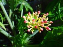 Οφθαλμός λουλουδιών Jatropha με το έντομο Στοκ εικόνα με δικαίωμα ελεύθερης χρήσης