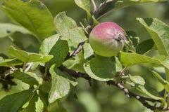 Οφθαλμός της Apple Στοκ Εικόνες