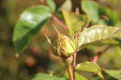 Οφθαλμός του ροδαλού λουλουδιού σε έναν κήπο Στοκ Φωτογραφία