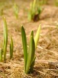 οφθαλμός daffodil Στοκ Φωτογραφίες