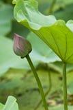 Οφθαλμός Lotus Στοκ φωτογραφία με δικαίωμα ελεύθερης χρήσης