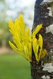 Οφθαλμοί άνοιξη στον κορμό δέντρων Στοκ φωτογραφία με δικαίωμα ελεύθερης χρήσης