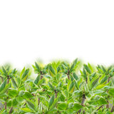 Οφθαλμοί άνοιξη στους νεαρούς βλαστούς δέντρων στοκ φωτογραφίες με δικαίωμα ελεύθερης χρήσης