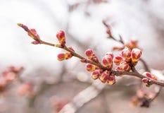 Οφθαλμοί δέντρων της Apple Στοκ Εικόνες