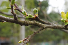 Οφθαλμοί ενός Apple-δέντρου μετά από μια βροχή με τις πτώσεις apse Στοκ Εικόνα