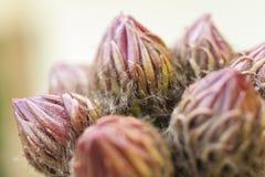 Οφθαλμοί κάκτων - schickendantzii Echinopsis Στοκ φωτογραφίες με δικαίωμα ελεύθερης χρήσης