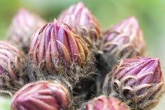 Οφθαλμοί κάκτων - schickendantzii Echinopsis Στοκ Φωτογραφίες