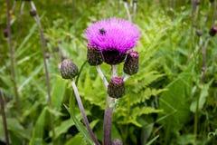 Οφθαλμοί και λουλούδια κάρδων σε έναν θερινό τομέα Οι εγκαταστάσεις κάρδων είναι το σύμβολο της Σκωτίας Στοκ Εικόνες