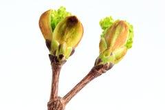 Οφθαλμοί και πράσινος τέφρα-με φύλλα σφένδαμνος φύλλων Στοκ εικόνες με δικαίωμα ελεύθερης χρήσης