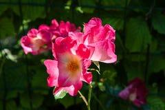 Οφθαλμοί και φύλλα μιας φυτείας με τριανταφυλλιές Στοκ Εικόνες
