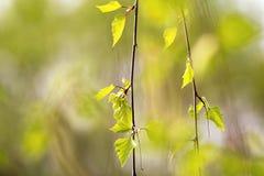 Οφθαλμοί και φύλλα σημύδων Στοκ εικόνες με δικαίωμα ελεύθερης χρήσης