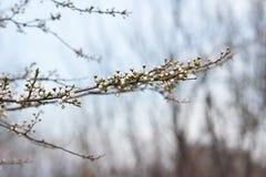 Οφθαλμοί κλάδων χρονικών δέντρων άνοιξη Στοκ Εικόνα