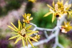 Οφθαλμοί λουλουδιών κάστανων Στοκ εικόνα με δικαίωμα ελεύθερης χρήσης