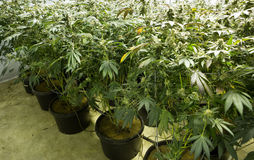 Οφθαλμοί λουλουδιών μαριχουάνα Στοκ Φωτογραφίες