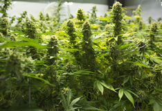 Οφθαλμοί λουλουδιών μαριχουάνα Στοκ Εικόνες