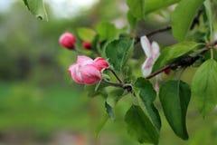 Οφθαλμοί λουλουδιών στον κλάδο Apple-δέντρων Στοκ Εικόνες