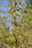 Οφθαλμοί λουλουδιών στο δέντρο μηλιάς. Στοκ φωτογραφία με δικαίωμα ελεύθερης χρήσης